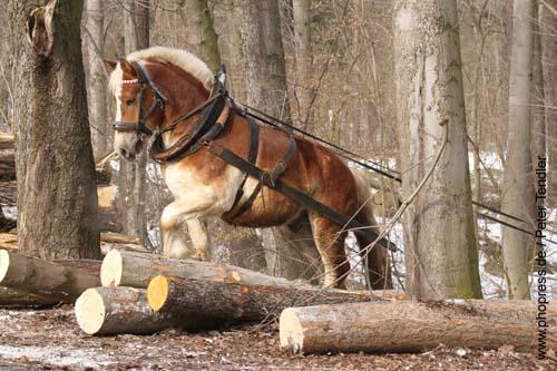 Rückepferd bei der Arbeit im Wald, Foto: Peter Tendler