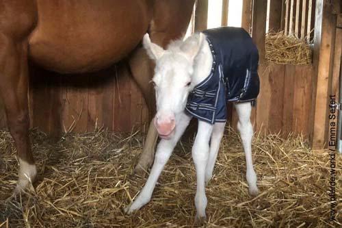 Am Tag der Geburt des Fohlens war es sehr kalt, darum wurde ihm eine wärmende Decke angezogen.