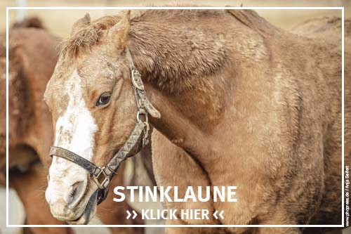 Die Stinklaune bei Pferden