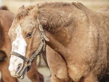 Die Schrecklaune bei Pferden