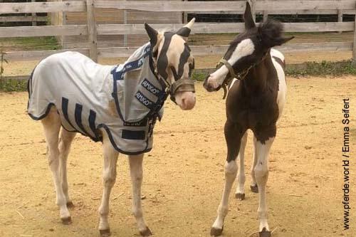 Sonnenbrand bei Pferden - eine UV-Schutzdecke hilft