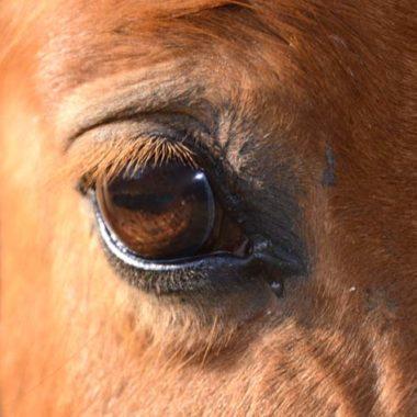0001-borna-virus-bornavirus-beim-bornasche-krankheit-pferd