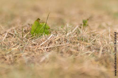 Dürres Gras bei langen Hitzewellen enthält viel Fruktan