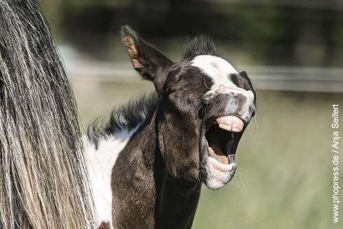 Milchzähne beim jungen Pferd (Fohlen)