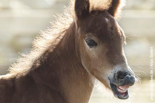 Milchzähne bei einem Pony-Fohlen