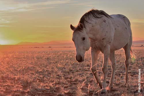 American Quarter Horse Bronco Jabaroan, erster Zuchthengst auf der Ranch Koiimasis. Er kam 2003 auf die Ranch und brachte mehr als 100 Fohlen.