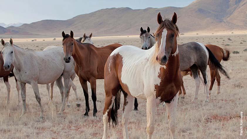 Hengst-Prince-Junior-mit-seiner-Herde auf der Ranch Koiimasis in Namibia