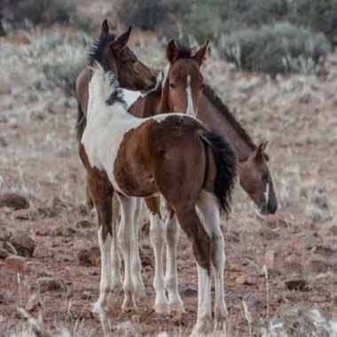 Hardy Quarter Horse - Fohlen