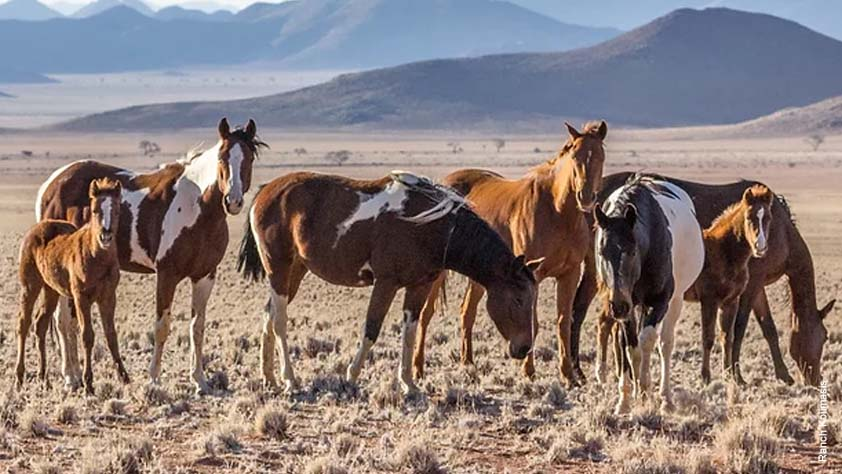 Hardy Quarterhorses