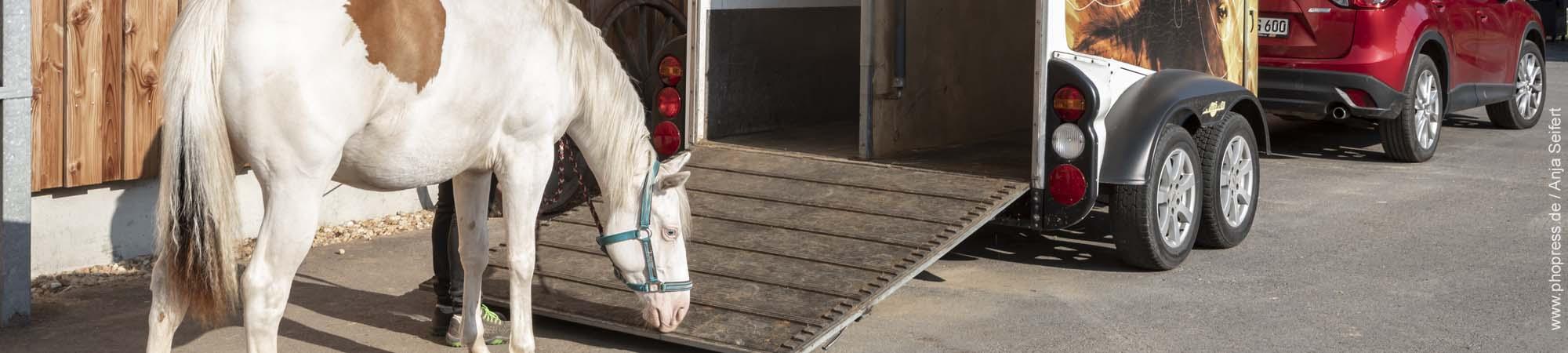 Hängertraining mit jungen Pferden ist immer eine Herausforderung.