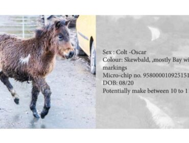 Dartmoor Pony Hengst Oscar, Farbe: Skewbald, mostly Bay with white markings