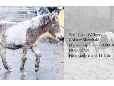 Dartmoor Pony Hengst Widgery, Farbe: Schecke